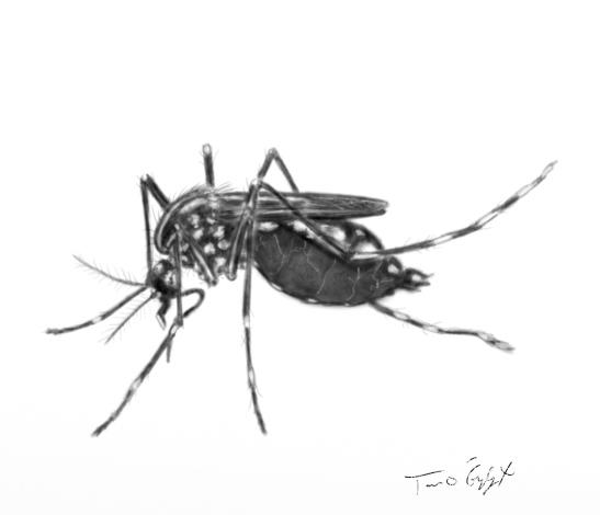 moustique Aedes chikungunya