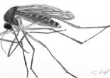 moustique Culex West Nile
