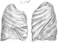 poumons face externe