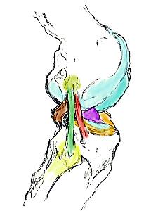 ligament antéro-latéral à la face externe du genou tel que décrit par les équipes orthopédiques belges ayant publié dans Journal of Anatomy