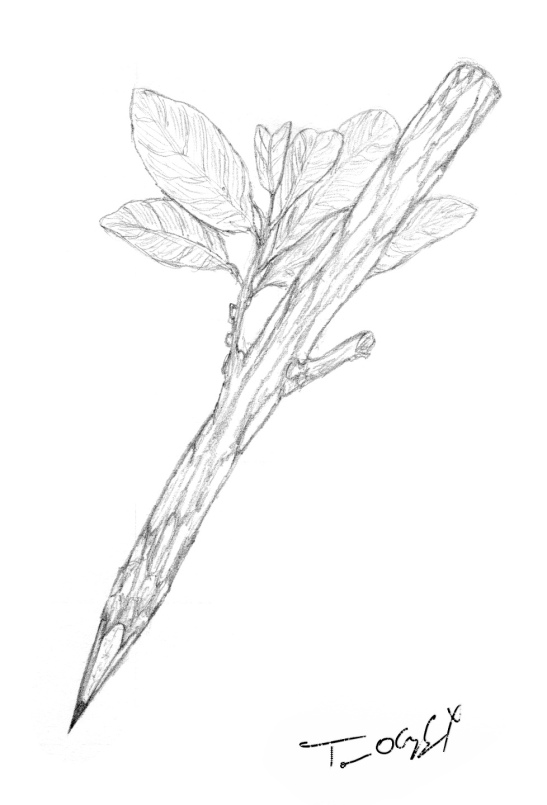 crayon de bois arbre