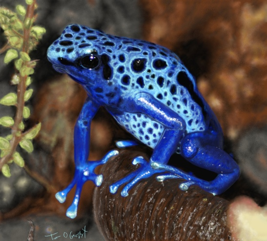 grenouille bleue dendrobate azureus